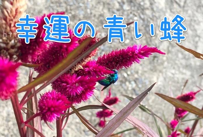 オオセイボウ 大分 青い蜂 IMG 6936 3