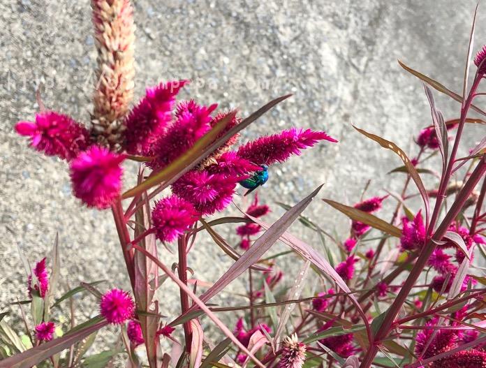 オオセイボウ 大分 青い蜂 IMG 6936 2