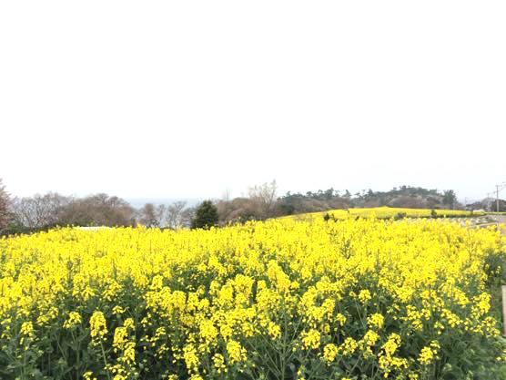 大分 香々地 菜の花 2015IMG 3441