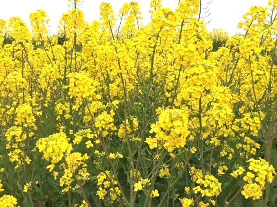 大分 香々地 菜の花 2015IMG 3445